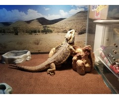Bearded Dragon in Richmond, McHenry County, Illinois - Macoupin